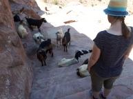 Chèvres à Petra