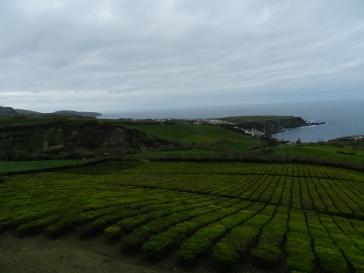 Champs de théiers à São Miguel, Açores, Portugal